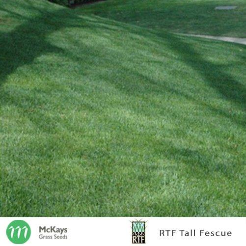 RTF Tall Fescue Seed